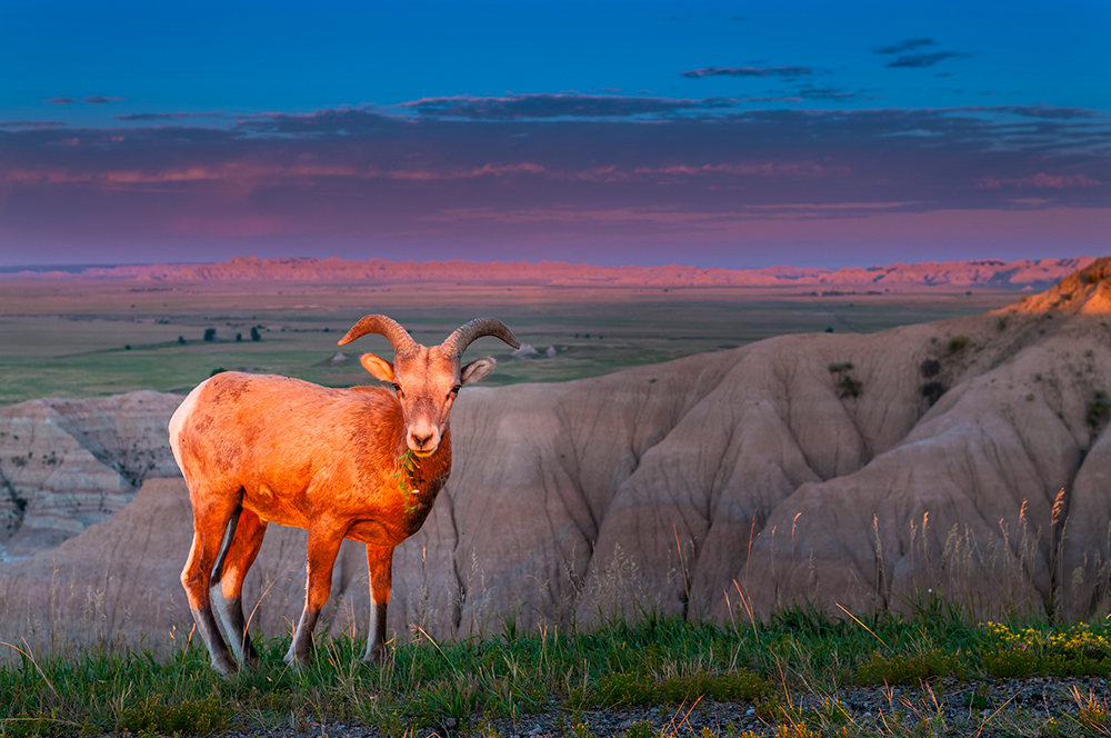 Rocky Mountain Bighorn Sheep in the Badlands.