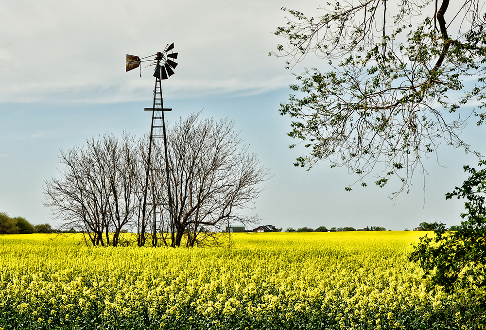 Canola Field in Full Bloom in Northeast Oklahoma.