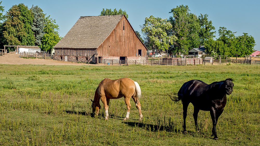 Horses Play in front of a rusitc barn in Nampa, ID.